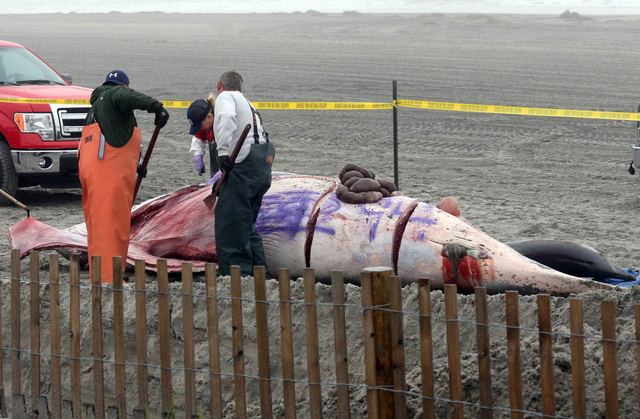 Bob Schoelkopf, right, director of the Marine Mammal Stranding Center, looks over a minke whale that washed up along with a common dolphin, in foreground, in Atlantic City, N.J., Thursday, May 1,  ...