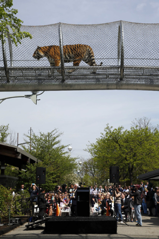 An Amur tiger walks across a passageway after a news conference at the Philadelphia Zoo, Wednesday, May 7, 2014, in Philadelphia. The see-through mesh pathway called Big Cat Crossing is part of a  ...