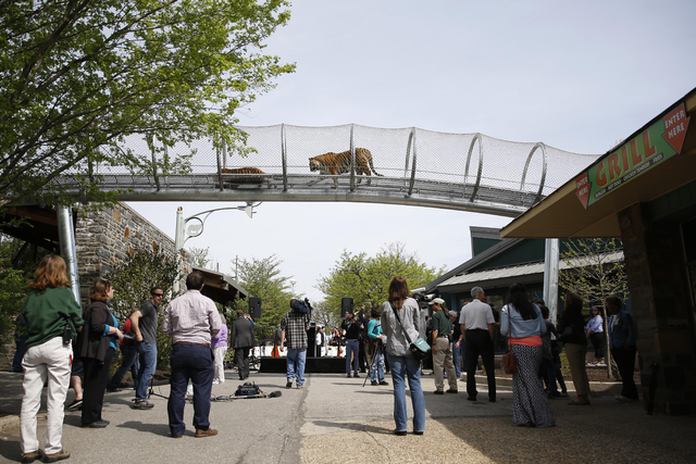 Amur tigers walk across a passageway after a new conference at the Philadelphia Zoo, Wednesday, May 7, 2014, in Philadelphia. The see-through mesh pathway called Big Cat Crossing is part of a nati ...