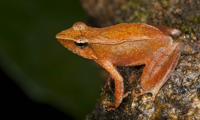 This shows one of the 14 new species of so-called dancing frogs discovered by a team headed by University of Delhi professor Sathyabhama Das Biju in the jungle mountains of southern India. The stu ...
