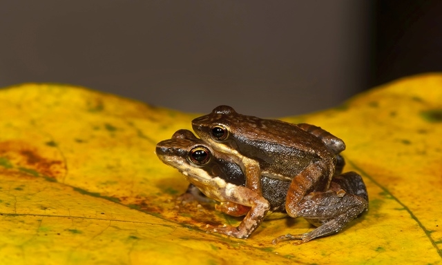 This shows a frog couple from one of the 14 new species of so-called dancing frogs discovered by a team headed by University of Delhi professor Sathyabhama Das Biju in the jungle mountains of sout ...