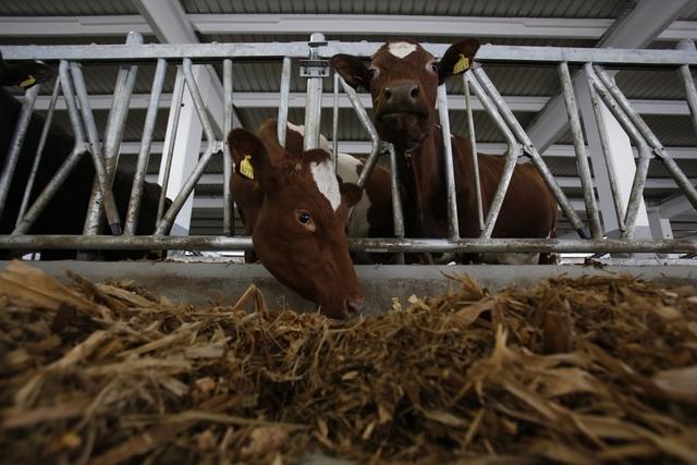 In this photo taken on Tuesday, April 15, 2014, Norwegian Red Cows eat hay  inside a farm in the village of Kozarac, near Bosnian town of Perijedor, 250 kms northwest of Sarajevo. Bosnian farmer J ...