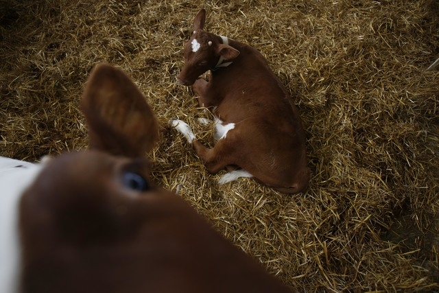 In this photo taken on Tuesday, April 15, 2014, Norwegian Red calves rest on a pile of hay inside a farm in the village of Kozarac, near Bosnian town of Perijedor, 250 kms northwest of Sarajevo. B ...