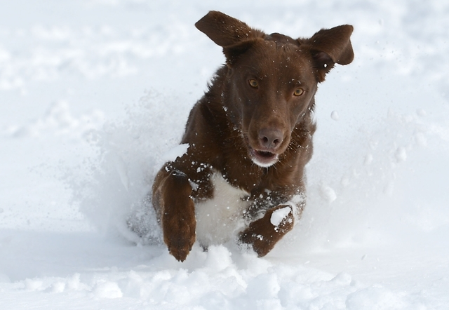 Atticus, a 2-year-old chocolate lab mix, gets ready to pounce on a tennis ball at City Park in Fort Collins on Monday, May 12, 2014, after a spring storm brought over a foot of snow to parts of Co ...