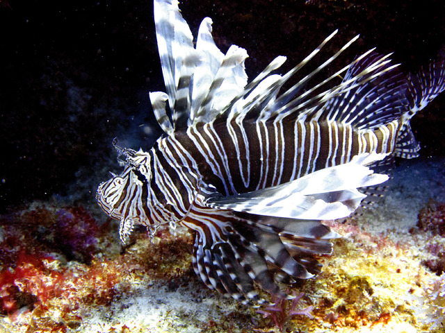 A lionfish swims near coral off the Caribbean island of Bonaire. The effort to turn lionfish into a menu item appears to be working but the demand seems to be outpacing the supply. Lionfish are di ...