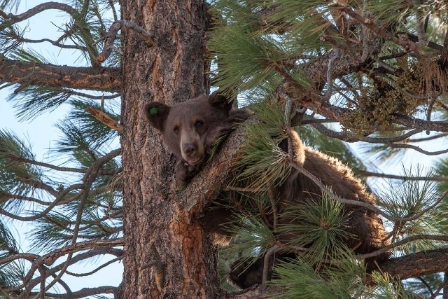 In this photo taken Friday Aug. 9, 2013, a yearling male black bear runs up a tree in the Toiyabe National Forest above Gardnerville, Nev. (Courtesy, Nevada Department of Wildlife)