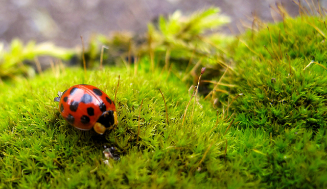 This March 22, 2014 photo shows a ladybug on a residential property in Langley, Wash. Many gardeners use pesticides  organic or otherwise  only as a last resort. They opt instead f ...