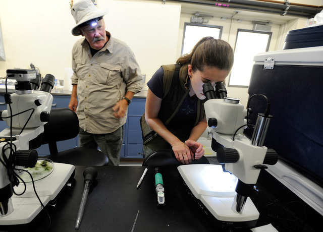 Volunteer Hal Fairfield, left, looks on as research associate Ambre Chaudoin searches for Devil's Hole pupfish eggs under a microscope at the Ash Meadows Fish Conservation Facility on Nov. 25, 201 ...