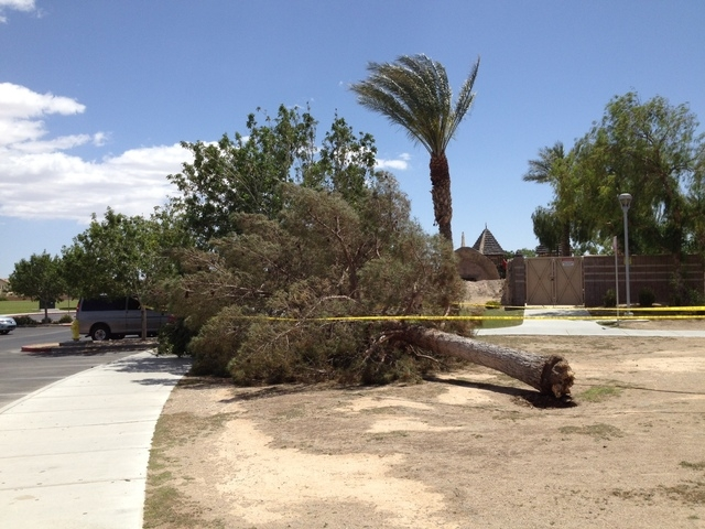 A fallen tree at Aliante Nature Discovery Park in North Las Vegas. (Greg Haas, Las Vegas Review-Journal)