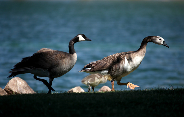A mother goose walks her gosling along the edge of the pond at Lorenzi Park in Las Vegas on Sunday, May 11, 2014. Despite the windy conditions flocks of geese and people were out to celebrate Moth ...