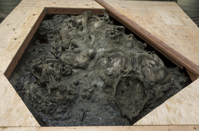 A juvenile American mastodon skull, left, and a Harlan's Ground Sloth pelvis, right, lay on trapped on top in natural asphalt at the 1952 Observation Pit building at the Page Museum La Brea Tar Pi ...