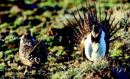 A female sage grouse, left, views a strutting male sage grouse during mating season, in this file photo taken in Northwestern Nevada. (AP Photo/Nevada Division of Wildlife, File)
