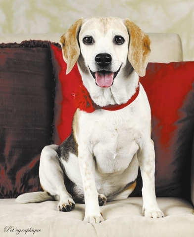 Alley Mcbeagle, Southern Nevada Beagle Rescue Alley McBeagle is a 9-year-old tricolor female beagle. Her owners dumped her on relatives who love her but could not take care of her. She is a sweet  ...
