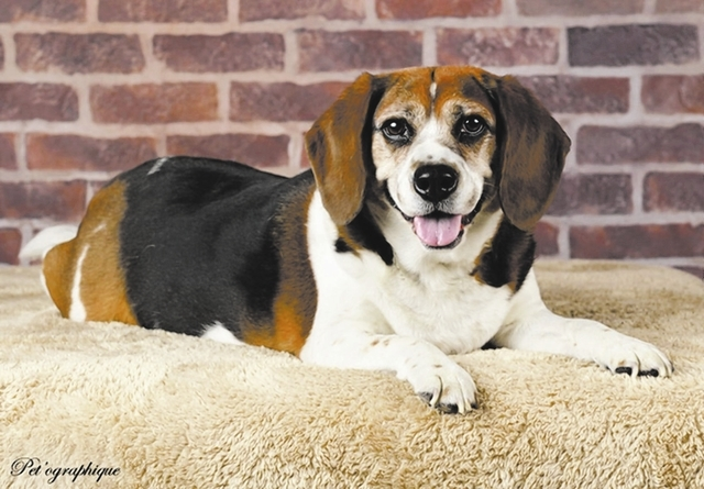 Ranger, Southern Nevada Beagle Rescue Ranger is an 8-year-old tricolor male beagle. His owners fell ill and could no longer keep him. He is a bit overweight, and he needs someone dedicated to help ...