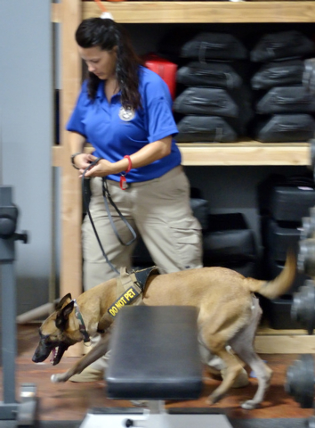 Garzon, a Belgian Malinois, sniffs for explosives during a training exercise with Elite Tactical Security Solutions owner Maribah Diaz at the company's offices and training facility at 2900 E. Pat ...