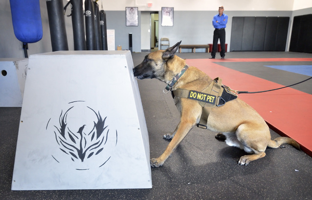 Garzon, a Belgian Malinois, sits down to let his trainer know that he has alerted to the smell of explosives as Richard Diaz, president and CEO of Elite Tactical Security Solutions, watches during ...