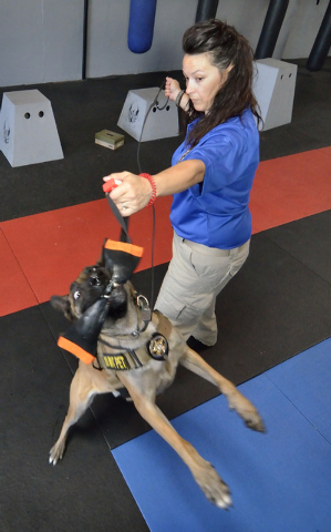 Garzon, a Belgian Malinois, grabs his toy from Elite Tactical Security Solutions owner Maribah Diaz after successfully alerting to the scent of explosives during a training session at the company' ...