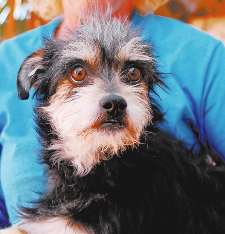 Bradley: Nevada SPCA    I don't know where I fit in this chaotic world. But if you accept my unconditional love, I will feel I have a new purpose, being a treasured member of a family. My name i ...
