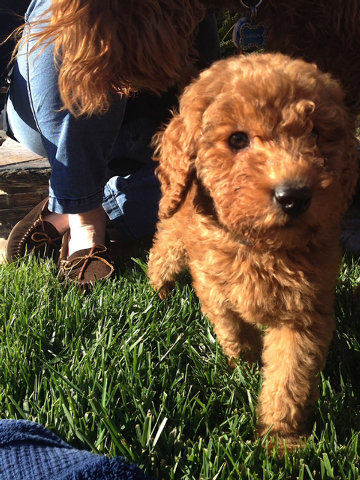 Karen Harris of Henderson said her 12-week-old Goldendoodle, Kya, and the family's other dog, Samson, got into what started out as an ordinary game of tug-of-war. However, the fun ended abruptly ...