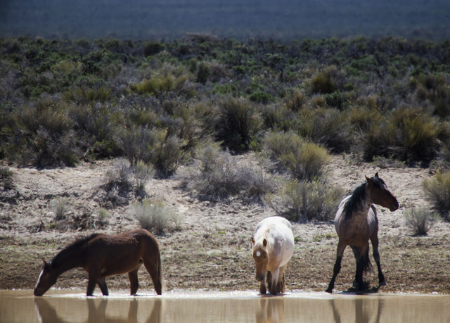 A wild horses  as seen Thursday, May 1, 2014 in Antelope Valley located about 20 miles west on Eureka, Nev. Rural ranchers are battling with the BLM on controlling the horse population. (Jeff Sche ...