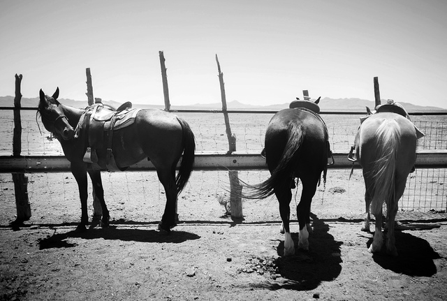 Horses as seen during branding at the Twin Creek Ranch, located about  200 miles north of Las Vegas as seen Wednesday, June 4, 2014. The Fallini family has been operating the ranch for five genera ...