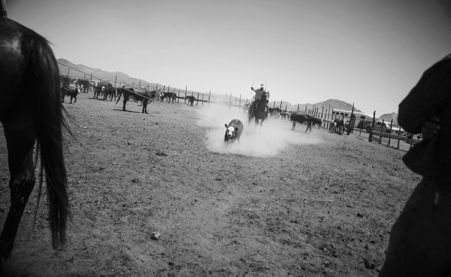 Branding at the Twin Creek Ranch, located about  200 miles north of Las Vegas as seen Wednesday, June 4, 2014. The Fallini family has been operating the ranch for five generations. (Jeff Scheid/La ...