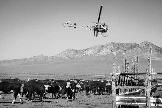 Joe Fallini operates a helicopter while gathering cattle at theTwin Creek Ranch, located about  200 miles north of Las Vegas on Wednesday, June 4, 2014. The Fallini family has been operating the r ...