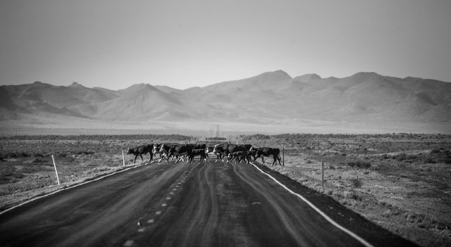 Cattle belonging to  Twin Creek Ranch, located around 200 miles north of Las Vegas, cross State Route 375 on Wednesday, June 4, 2014. The Fallini family has been operating the ranch for five gener ...