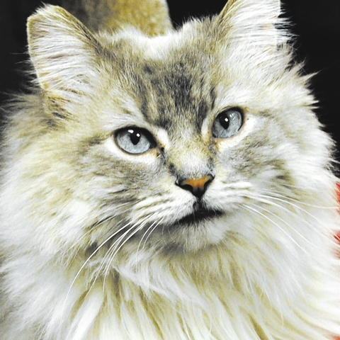 LILLY, Happy Home I'm a beautiful lilac point Himalayan mix, 6 years old, spayed & current on my shots.  I'm a little independent and prefer to be the only cat.  Do you have room in  ...