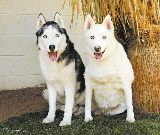 Kodiak & Akayla, Nevada SPCA Youth is a state of mind, so please don't think that being 9 to 11 years of age means our best days are behind us. We are soulmates, a bonded-for-life boy and girl S ...