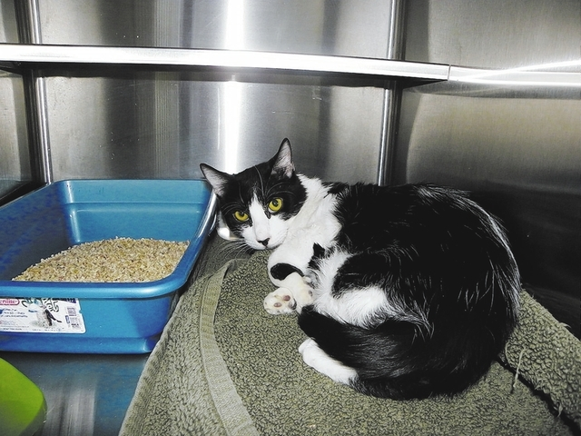 Bobby: Paws 4 Love    Bobby is a 9-month-old male black and white domestic shorthair. This sweet young man has been trying to stay alive during his short life. He is a good boy who loves to play a ...