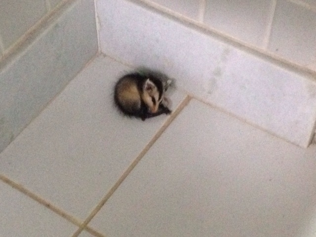 A baby timbu (a type of white-eared opossum) hides in the bathroom. (Brennan Karle)