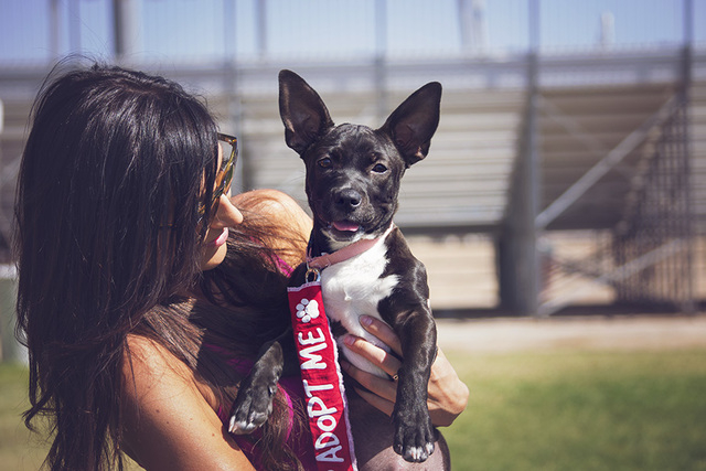 Courtney Fromhart, a volunteer with the Samadhi Legacy Foundation, holds a 4-month-old pit bull mix named Chelsea at the Hop to Adopt pet adoption event at Horseman's Park, 5800 E. Flamingo Road ...