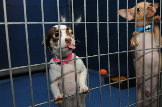 Rescued Chihuahuas are seen at Lied Animal Shelter in Las Vegas where they were taken to after a pet shop arson, Friday, Feb. 28, 2014. A total of 27 puppies connected to the pet shop arson have b ...