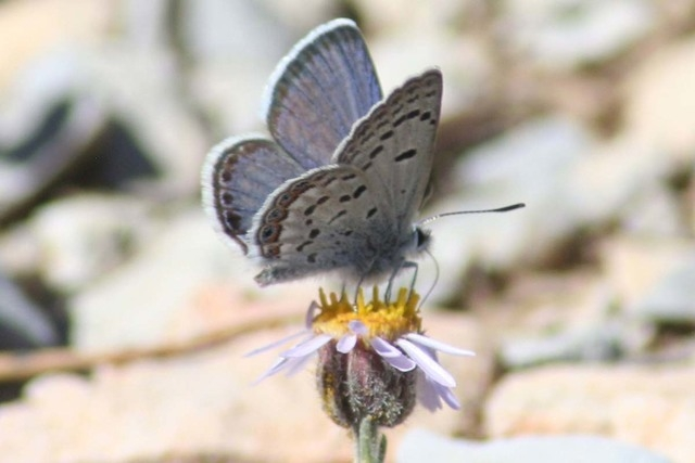 Mount Charleston Blue Butterfly, Plebejus shasta (Photo courtesy Corey Kallstrom/U.S. Fish and Wildlife Service)