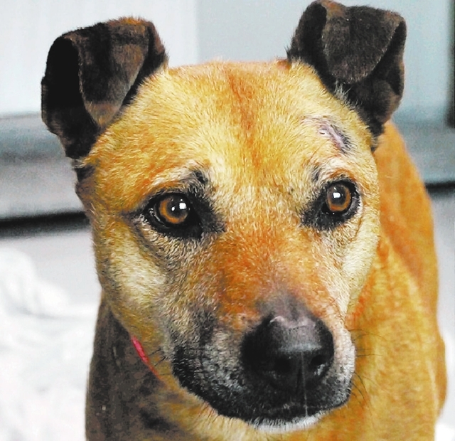 Ruby: The Animal Foundation    I'm Ruby (I.D. No. A779973), a 9-year-old spayed female Australian cattle dog mix who wants to be part of your family. I enjoy morning walks and late afternoon bel ...