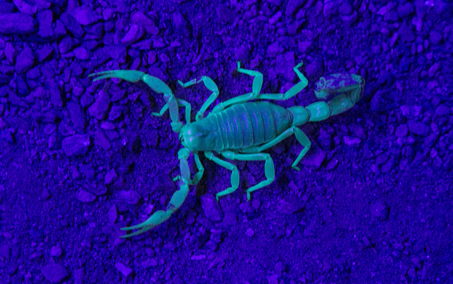 "A scorpion (seen under black light) is just one of the stars of ""Vegas Night Life,"" a new interactive animal show at the Springs Preserve. (Courtesy)"