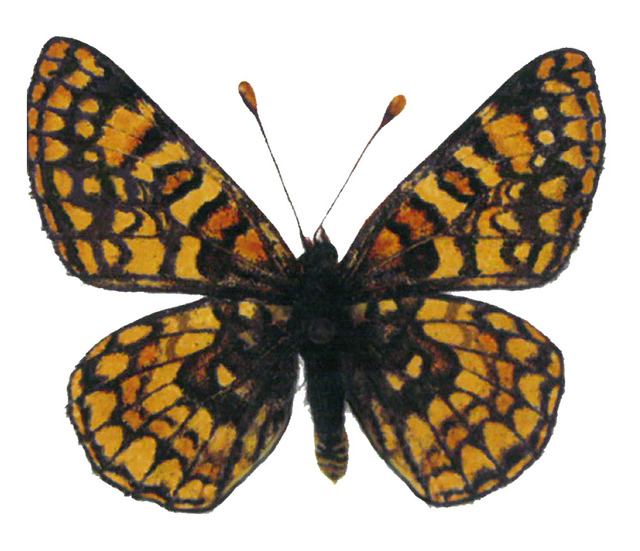 "image from ""Ice Age Butterflies of Mt. Charleston & Red Rock Canyon (The Spring Mountains) (courtesy Bruce M. Boyd)"