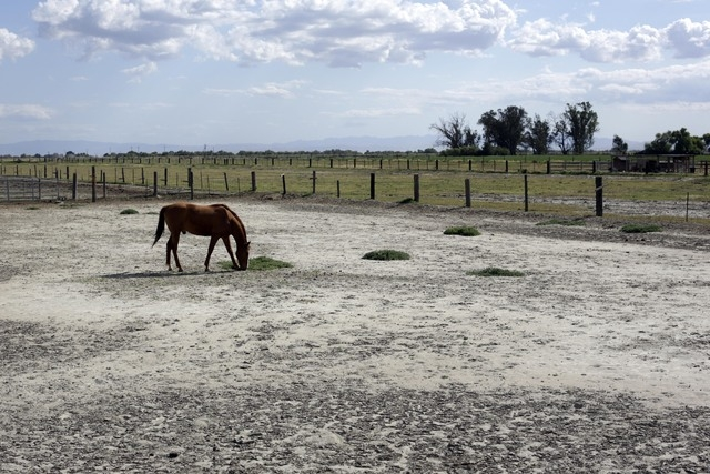 A horse grazes at a ranch near Merced County, Calif., on May 6. In dry California, water is fetching record high prices. As drought has deepened in the last few months, a handful of special distri ...