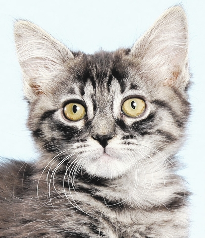 Kiri, All fur love animal society Kiri is a cuddly cutie pie who loves to be held and will come sit with her person. She has to be supervised when the litter box is being cleaned and knows the sou ...