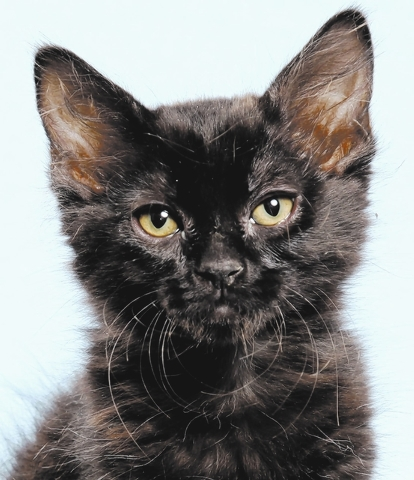 Kyra, All fur love animal society Kyra loves to be held and always comes to her person for a cuddle. On occasions when playing with a mouse toy, she will grab it and growl at her brother and siste ...