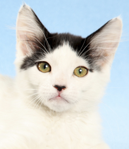 Xoni, All fur love animal society Xoni is the most adventurous boy. He likes to see what's new and has fun in any adventure. He was born on March 4. He is FELV negative and FIV positive, current ...