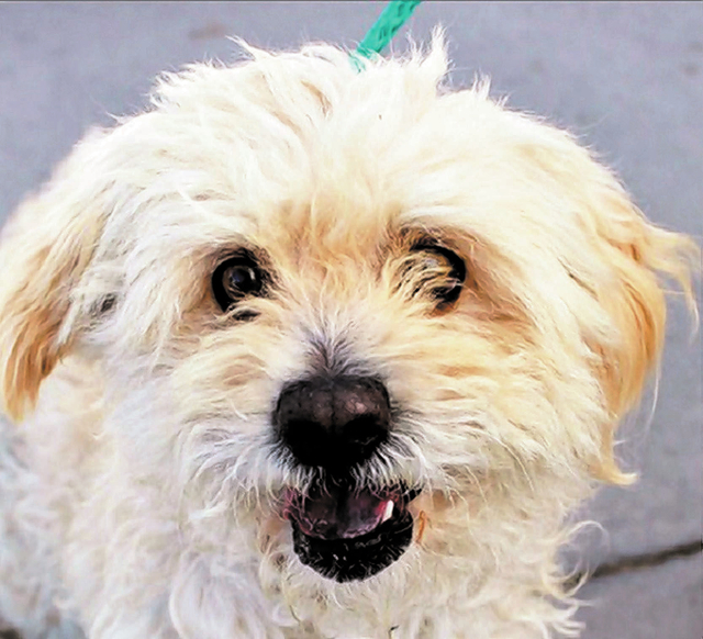 Leno, The Animal Foundation My name is Leno (I.D. No. A789298), and I'm a 3-year-old male Lhasa apso waiting for you to come meet me. I'm an easygoing fella who loves quick walks in the sun an ...
