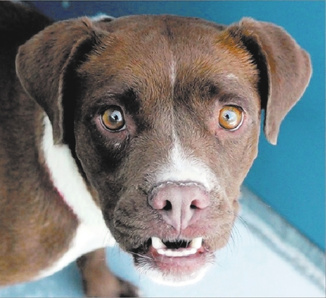 Sophie, The Animal Foundation I'm Sophie, a 3-year-old female springer, and I need a place to call home. My cute underbite is secondary to my sweet eyes, and if you love walks, belly rubs, and t ...