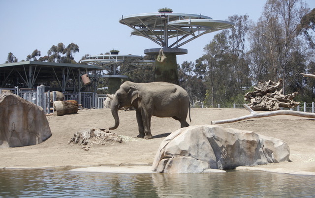 An Asian elephant chews on lunch next to the pond in the Elephant Odyssey exhibit at the San Diego Zoo. (AP File Photo/Lenny Ignelzi)