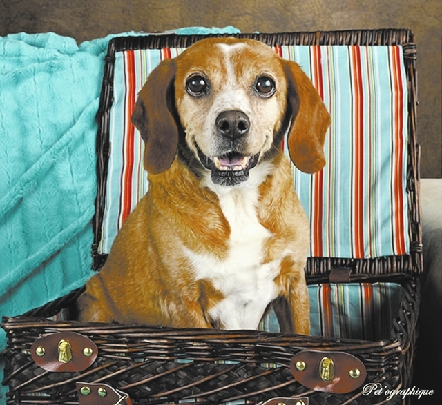 Louise, Southern Nevada beagle Rescue Louise is a female 9-year-old lemon (tan/white) beagle. Her owners moved and left her behind. She had a large mass on her abdomen — a hernia, which has been ...