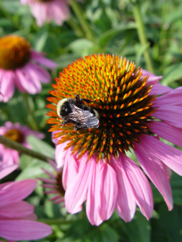 Maureen Gilmer/McClatchy-Tribune News Service A rich source of bee attracting perennials are part of the American prairies such as this purple coneflower, Echinacea purpurea.