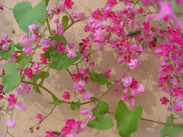 Maureen Gilmer/McClatchy-Tribune News Service Queens wreath is a Southwestern native flowering vine that is so appealing to bees they often nest near this long term food source.