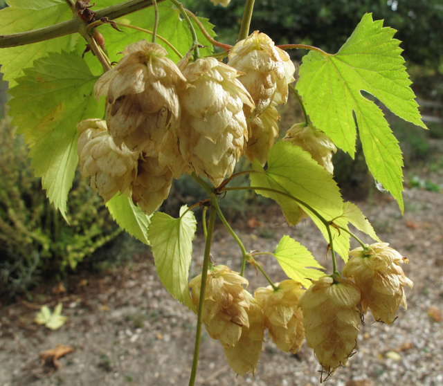 Dean Fosdick/The Associated Press Hops are an easy-to-grow perennial that greatly enhance a beers flavor when picked fresh.