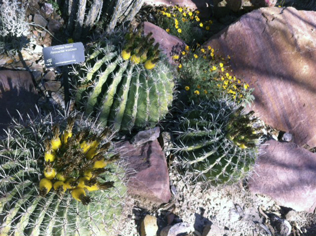 Barrel cacti grow at the Springs Preserve, 333 S. Valley View Blvd. The facility plans a gardening workshop on cacti and succulents from 8:30 to 10:30 a.m. July 12. The cost is $10 for members or  ...